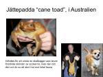 j ttepadda cane toad i australien