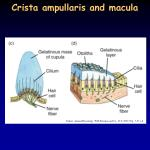 crista ampullaris and macula