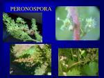 peronospora4