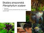 skal ra amazonsk pterophyllum scalare