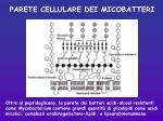 parete cellulare dei micobatteri