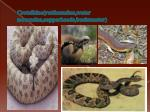 crotalidae rattlesnakes water moccasins copperheads bushmaster