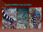 laticaudidae sea kraits