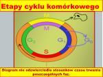 etapy cyklu kom rkowego