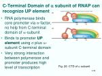 c terminal domain of a subunit of rnap can recognize up element