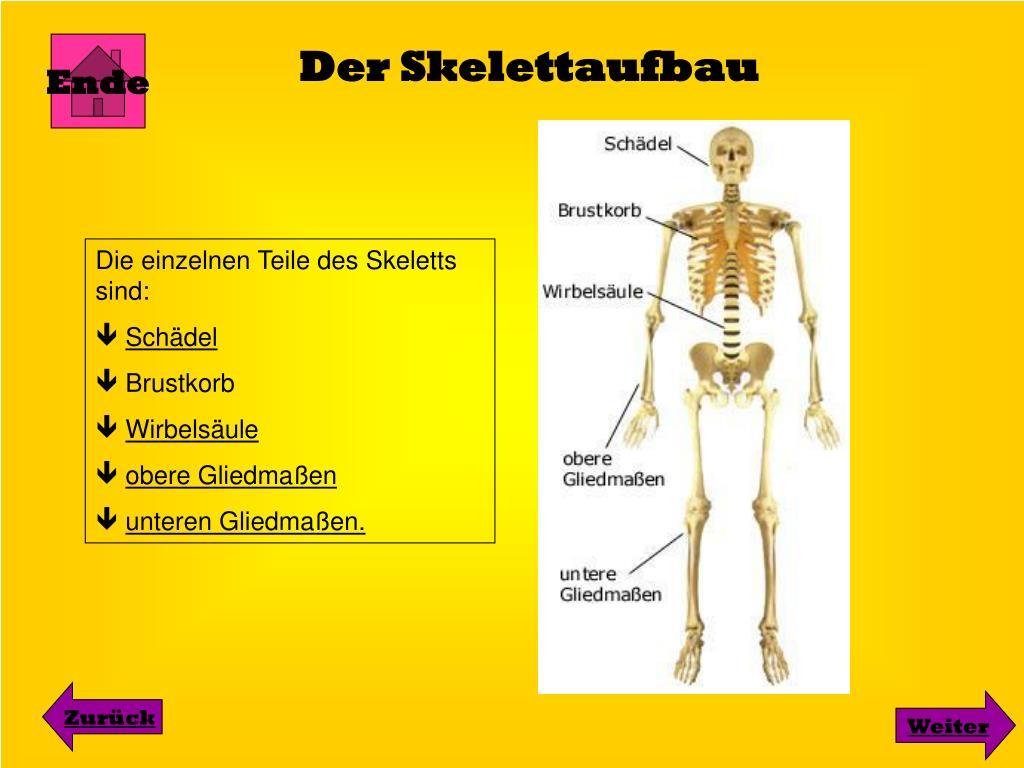 Anzahl Der Knochen Im Menschlichen Körper