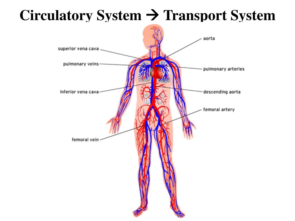 Ppt Circulatory System Transport System Powerpoint Presentation