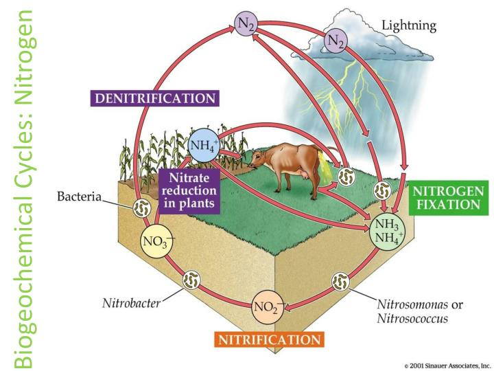 Biogeochemical Cycles: Nitrogen