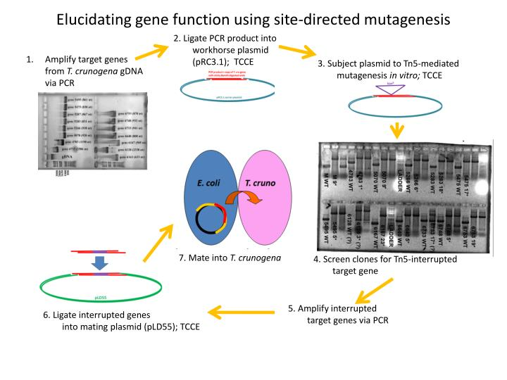 Elucidating gene function using site-directed mutagenesis