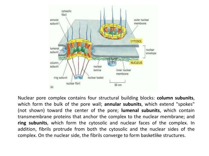 Nuclear pore complex contains four structural building blocks: