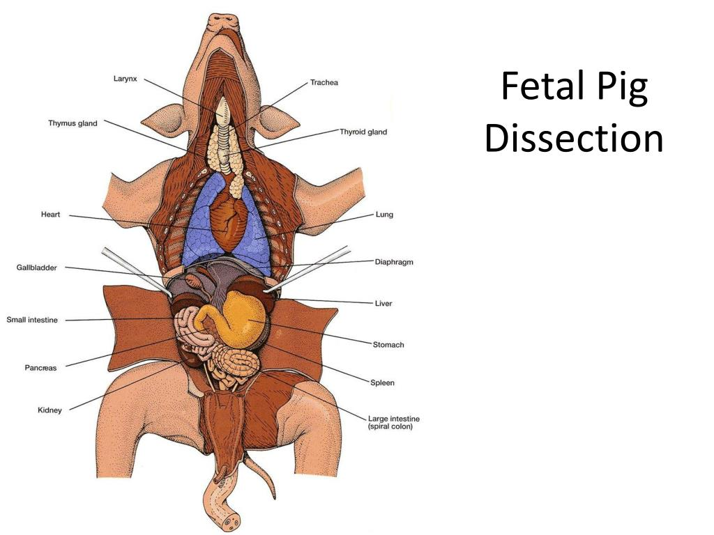Ppt Fetal Pig Dissection Powerpoint Presentation Id7005638