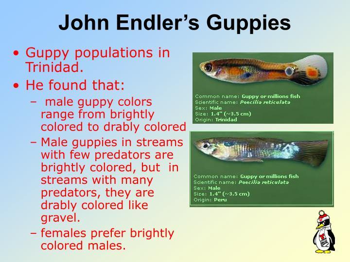 John Endler's Guppies