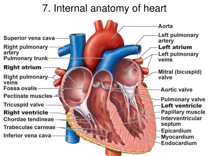 PPT - 1. Heart in mediastinum PowerPoint Presentation - ID:7008729