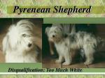 pyrenean shepherd11