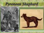 pyrenean shepherd7