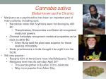cannabis sativa better known as the chronic