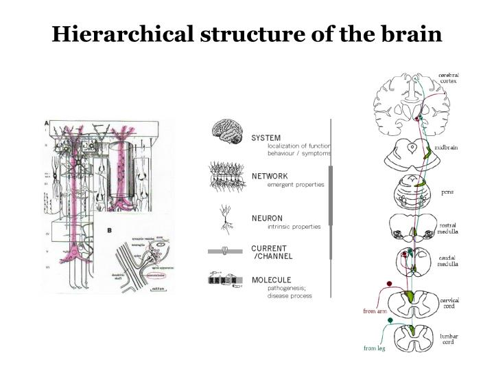 Hierarchical structure of the brain