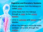 digestive and excretory systems11
