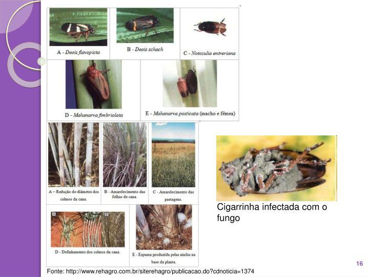 Cigarrinha infectada com o fungo