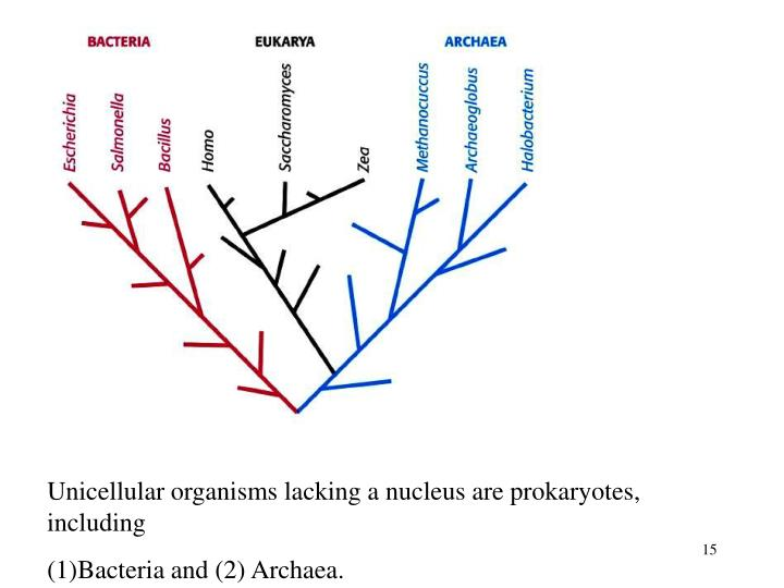 Unicellular organisms lacking a nucleus are prokaryotes, including