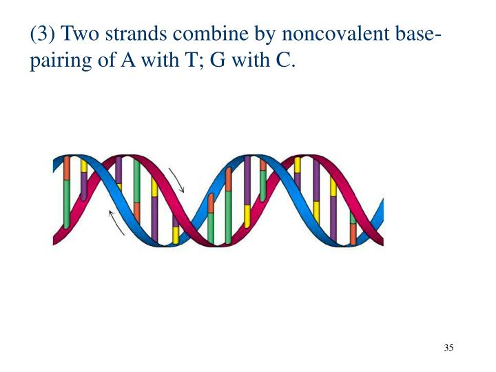 (3) Two strands combine by noncovalent base-pairing of A with T; G with C.