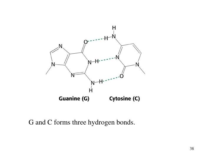 G and C forms three hydrogen bonds.