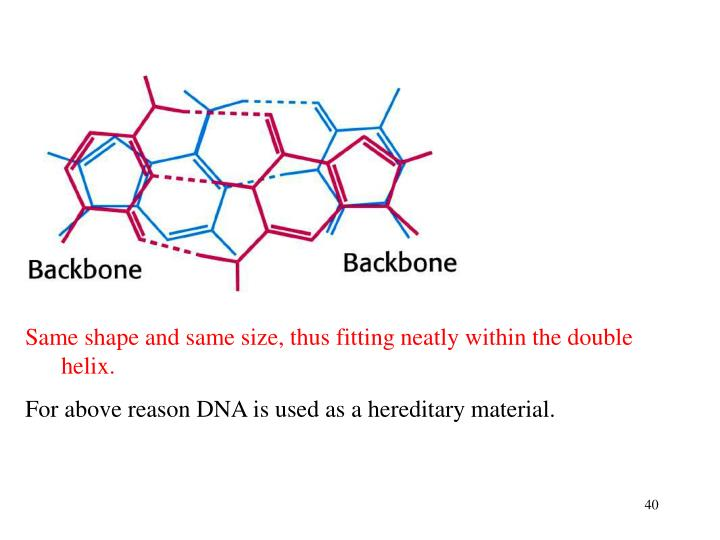Same shape and same size, thus fitting neatly within the double helix.