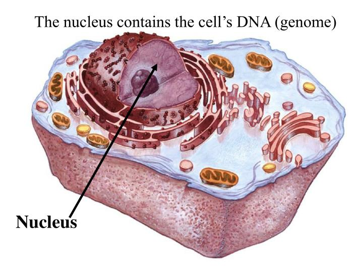 The nucleus contains the cell's DNA (genome)