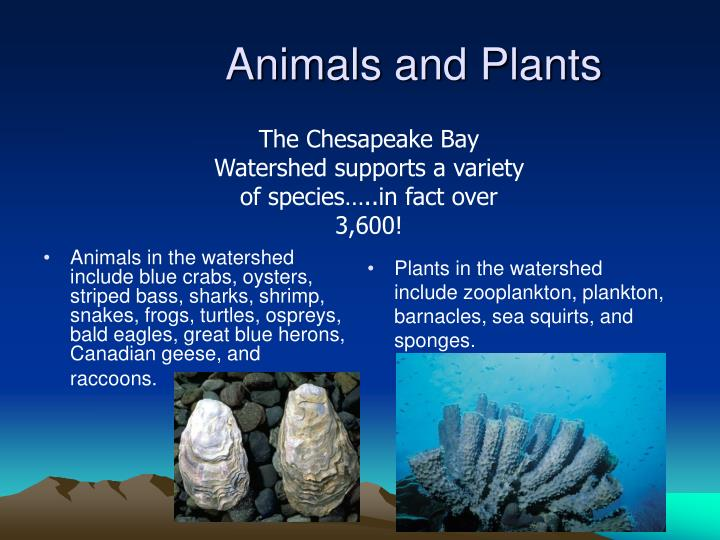 Animals in the watershed include blue crabs, oysters, striped bass, sharks, shrimp, snakes, frogs, turtles, ospreys, bald eagles, great blue herons, Canadian geese, and raccoons.