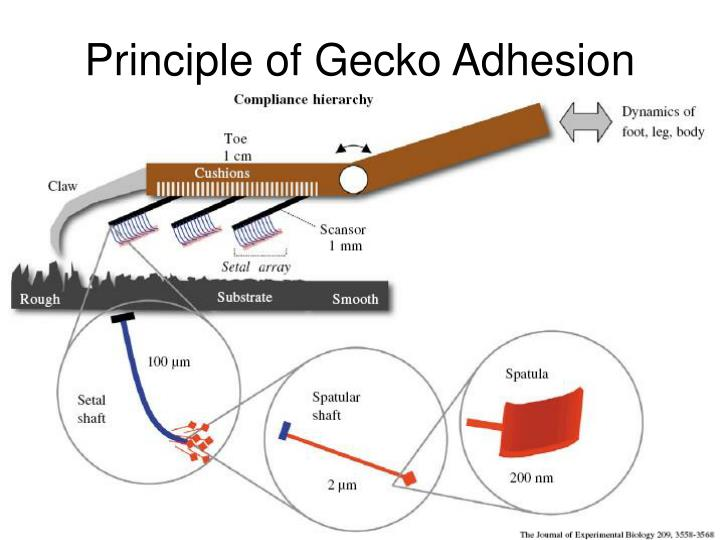 Principle of Gecko Adhesion