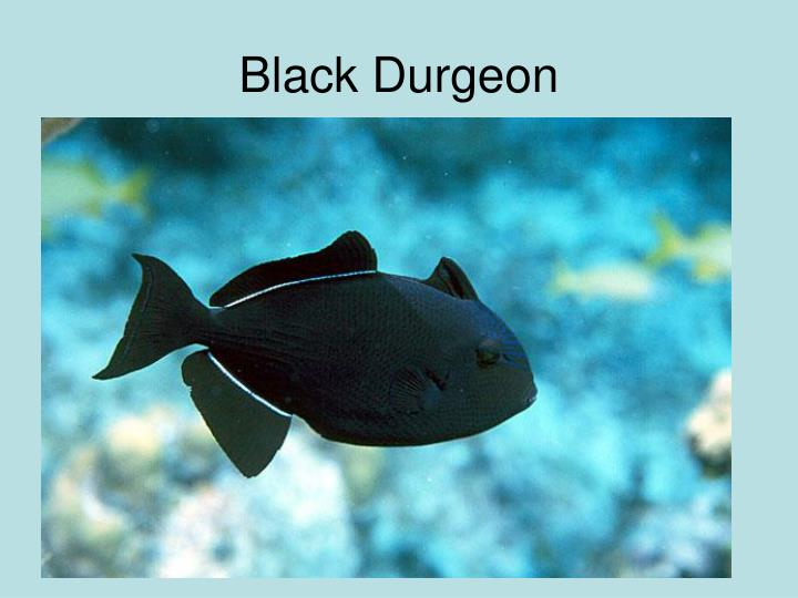 Black Durgeon