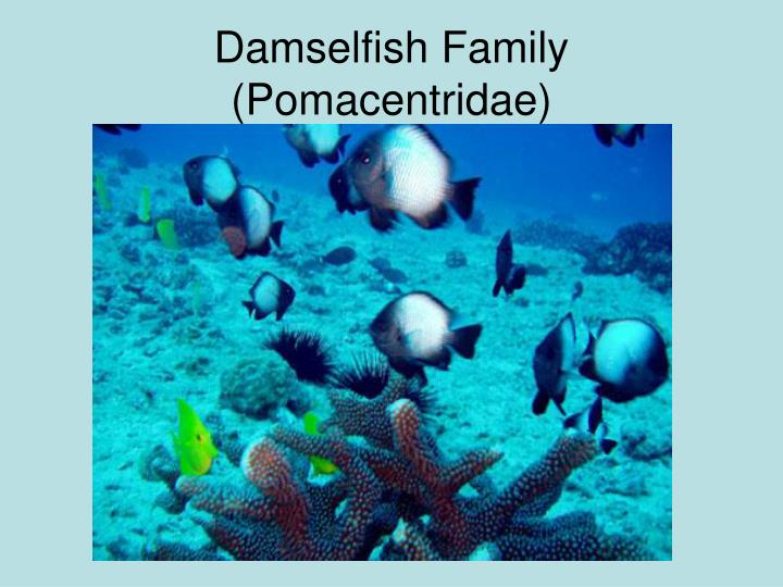 Damselfish Family (Pomacentridae)