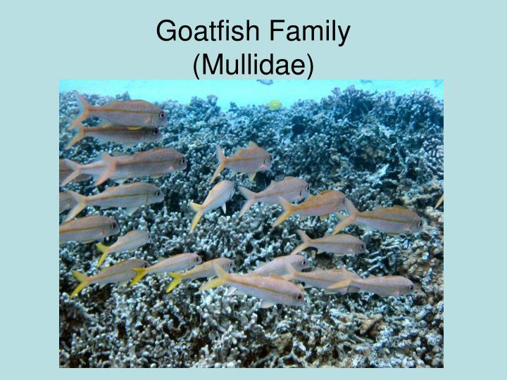 Goatfish Family
