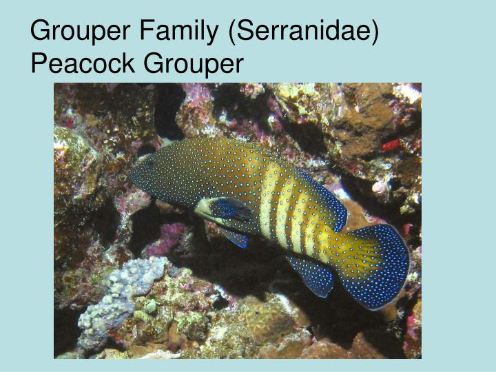 Grouper Family (Serranidae) Peacock Grouper