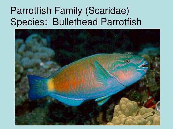 Parrotfish Family (Scaridae) Species:  Bullethead Parrotfish