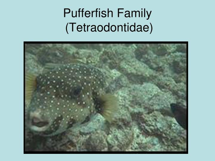 Pufferfish Family