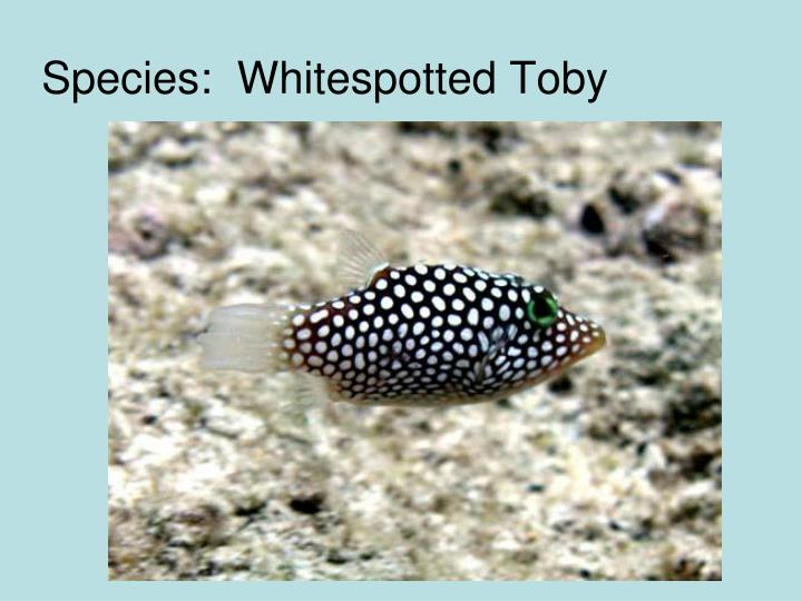 Species:  Whitespotted Toby