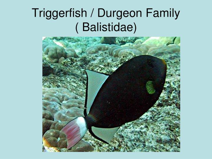 Triggerfish / Durgeon Family