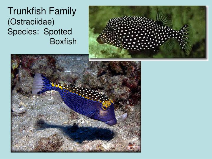 Trunkfish Family