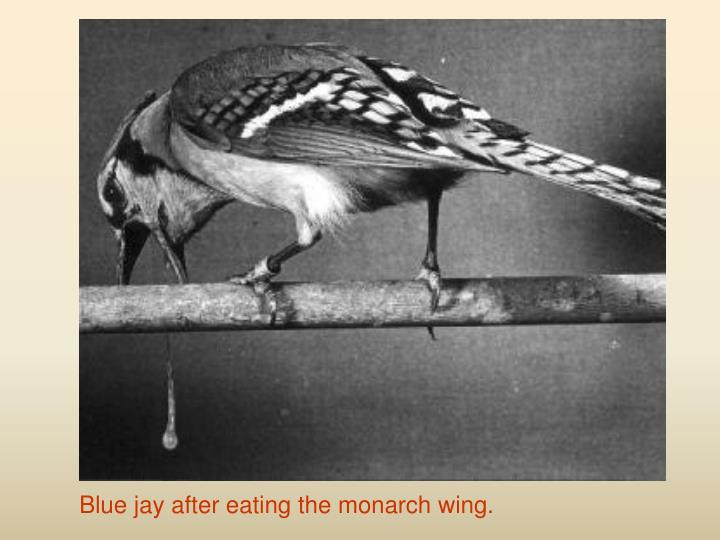 Blue jay after eating the monarch wing.
