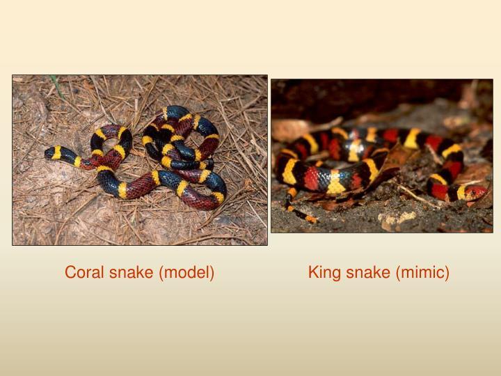 Coral snake (model)