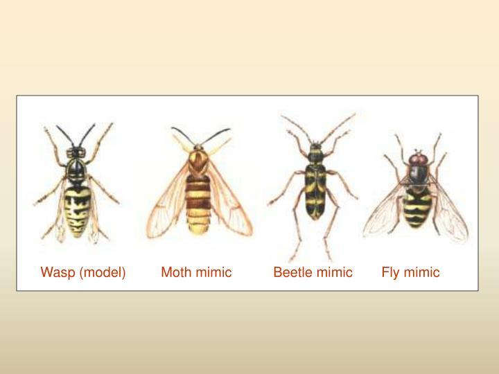 Wasp (model)