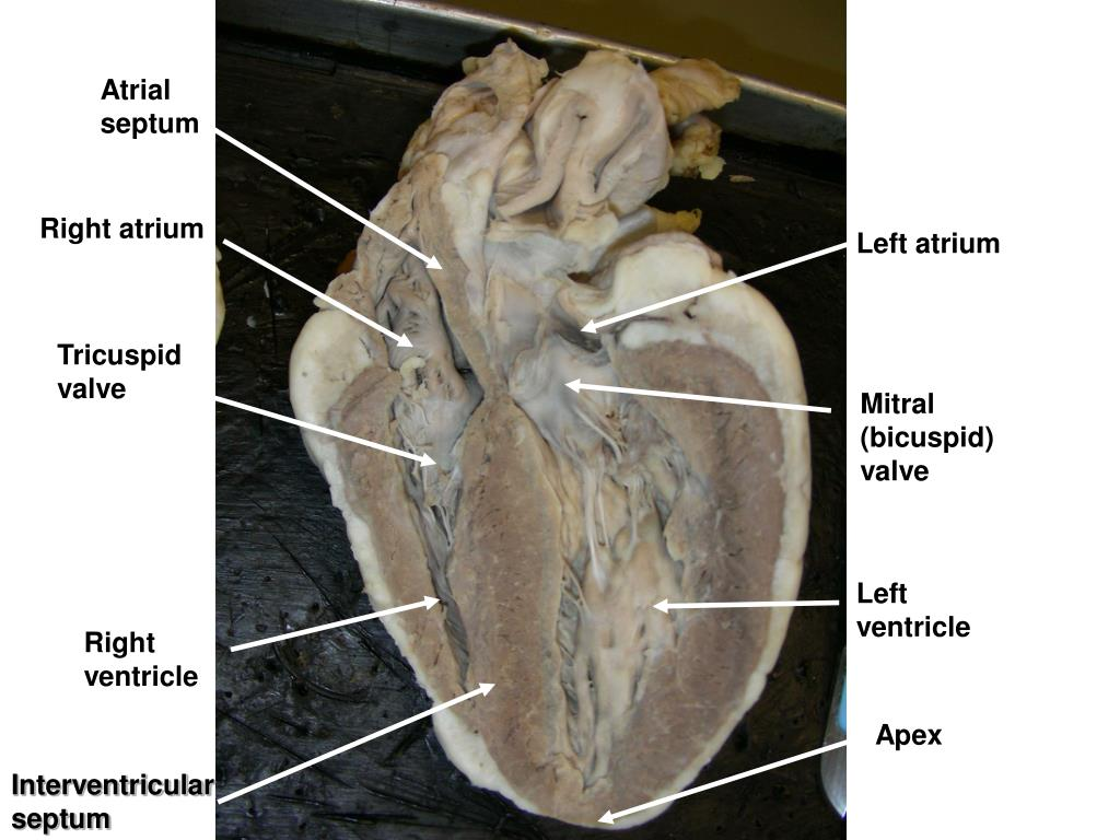 PPT - Sheep Heart PowerPoint Presentation, free download ...