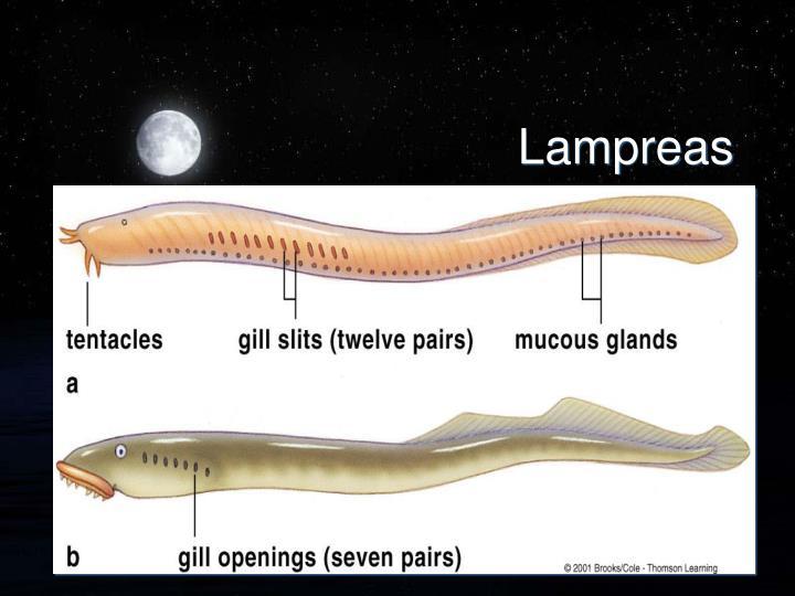 Lampreas