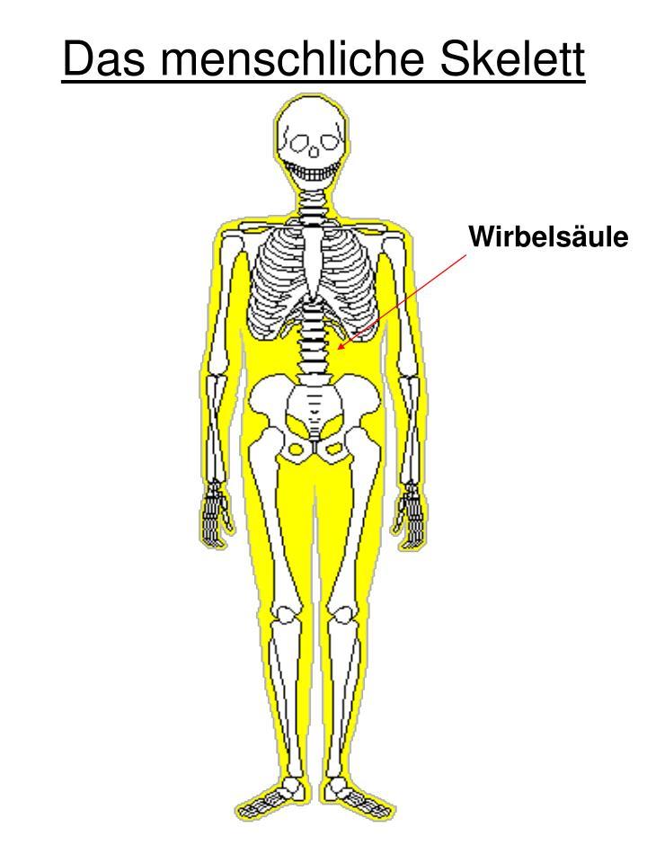 Schön Menschliches Skelett Brustbeins Ideen - Anatomie Von ...