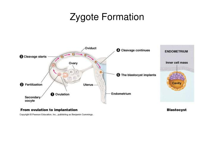 Zygote Formation