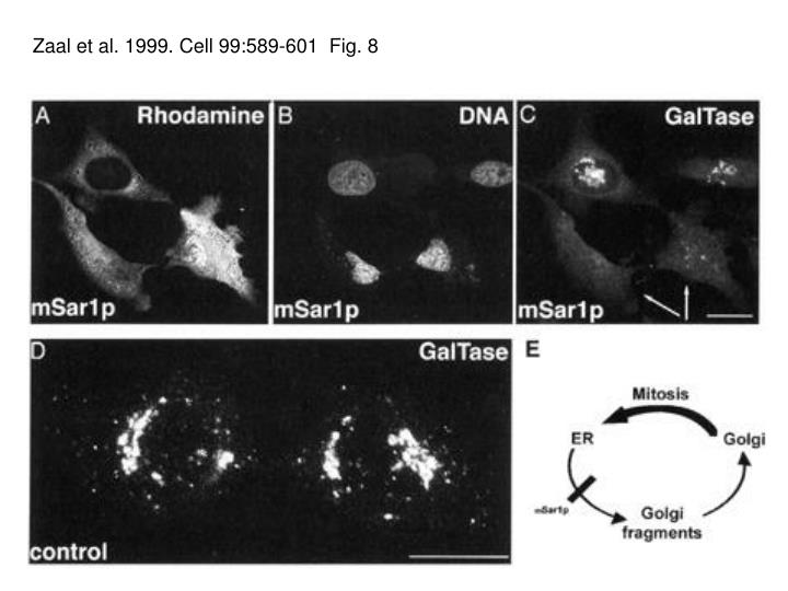 Zaal et al. 1999. Cell 99:589-601  Fig. 8