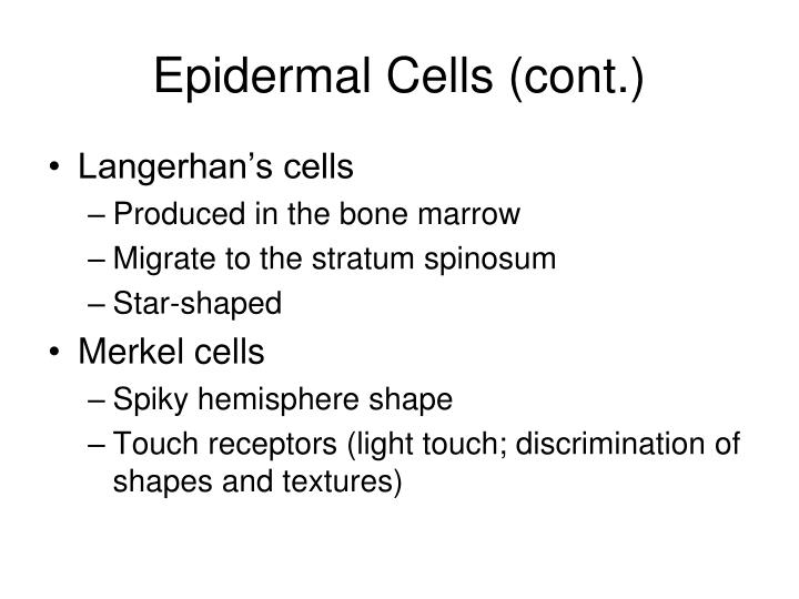 Epidermal Cells (cont.)