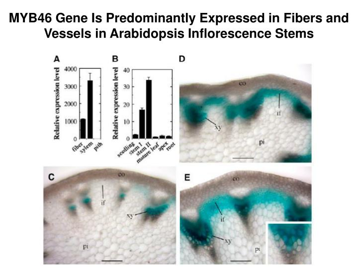 MYB46 Gene Is Predominantly Expressed in Fibers and