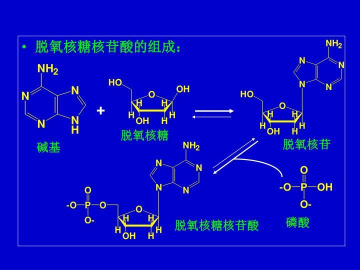 脱氧核糖核苷酸的组成: